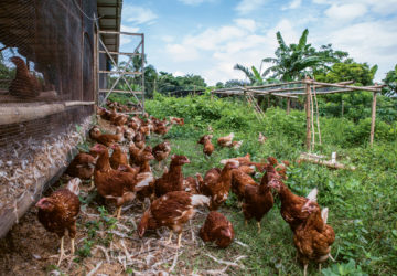 A flock of brown chickens from batangas free range chicken