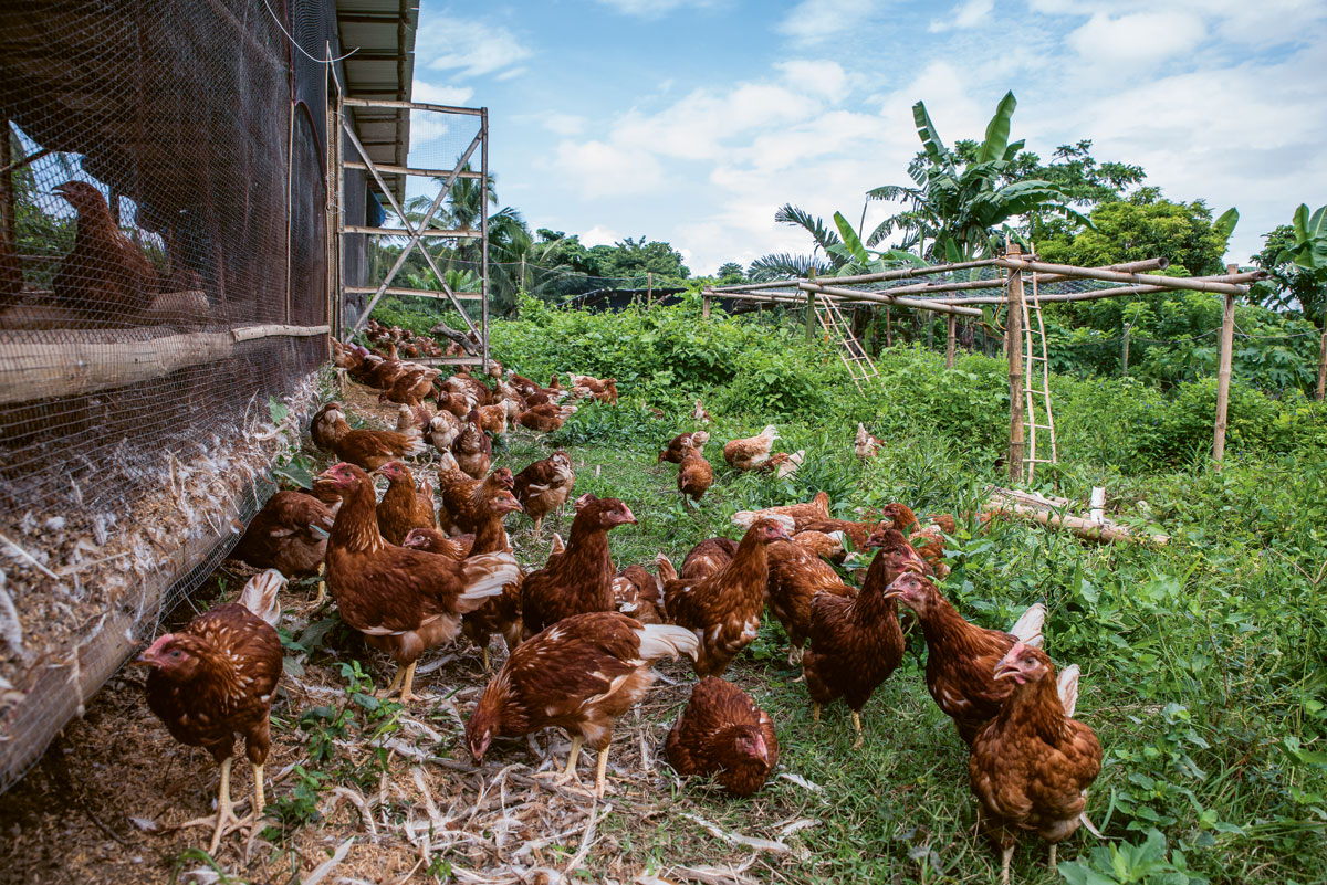 Yes, raising poultry can be humane, too | F&B Report Magazine