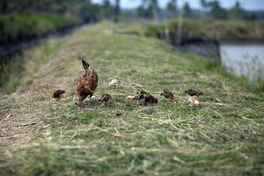 Even chickens play a role in sustainable aquaculture