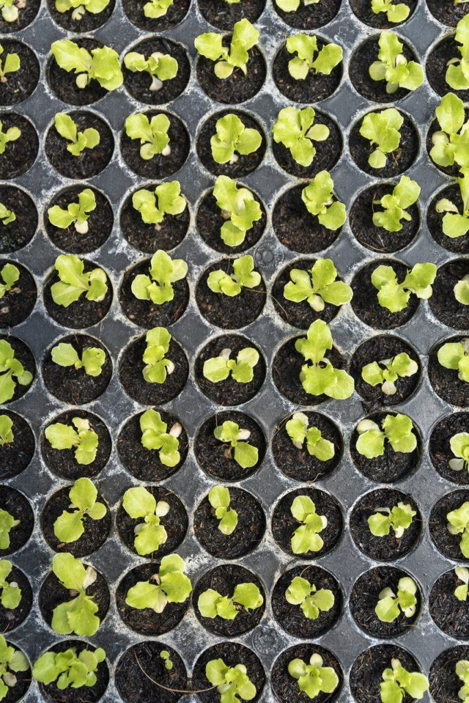 New batch of seedlings in the nursery