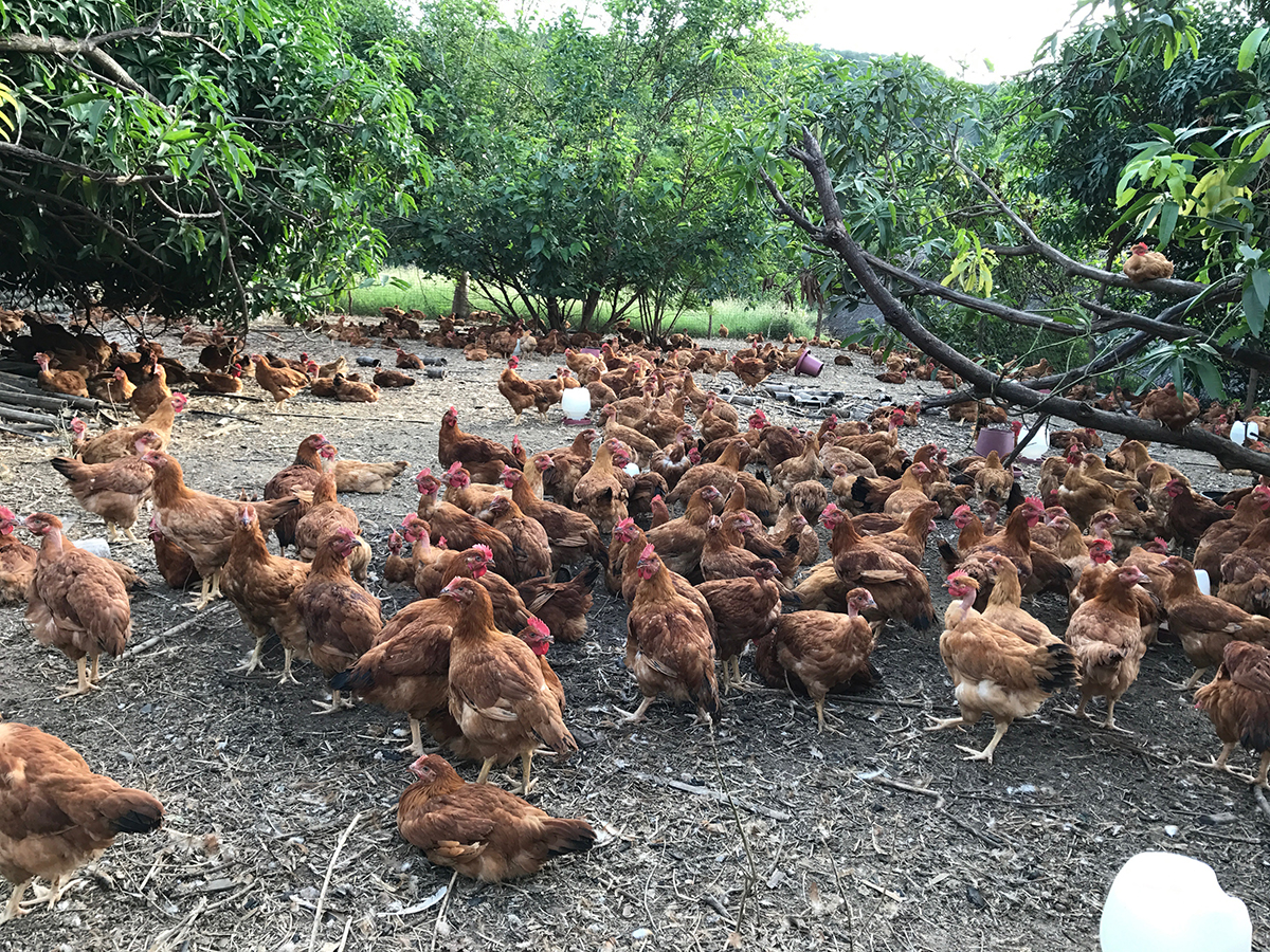 This free-range chicken farm's 18-year formula to success