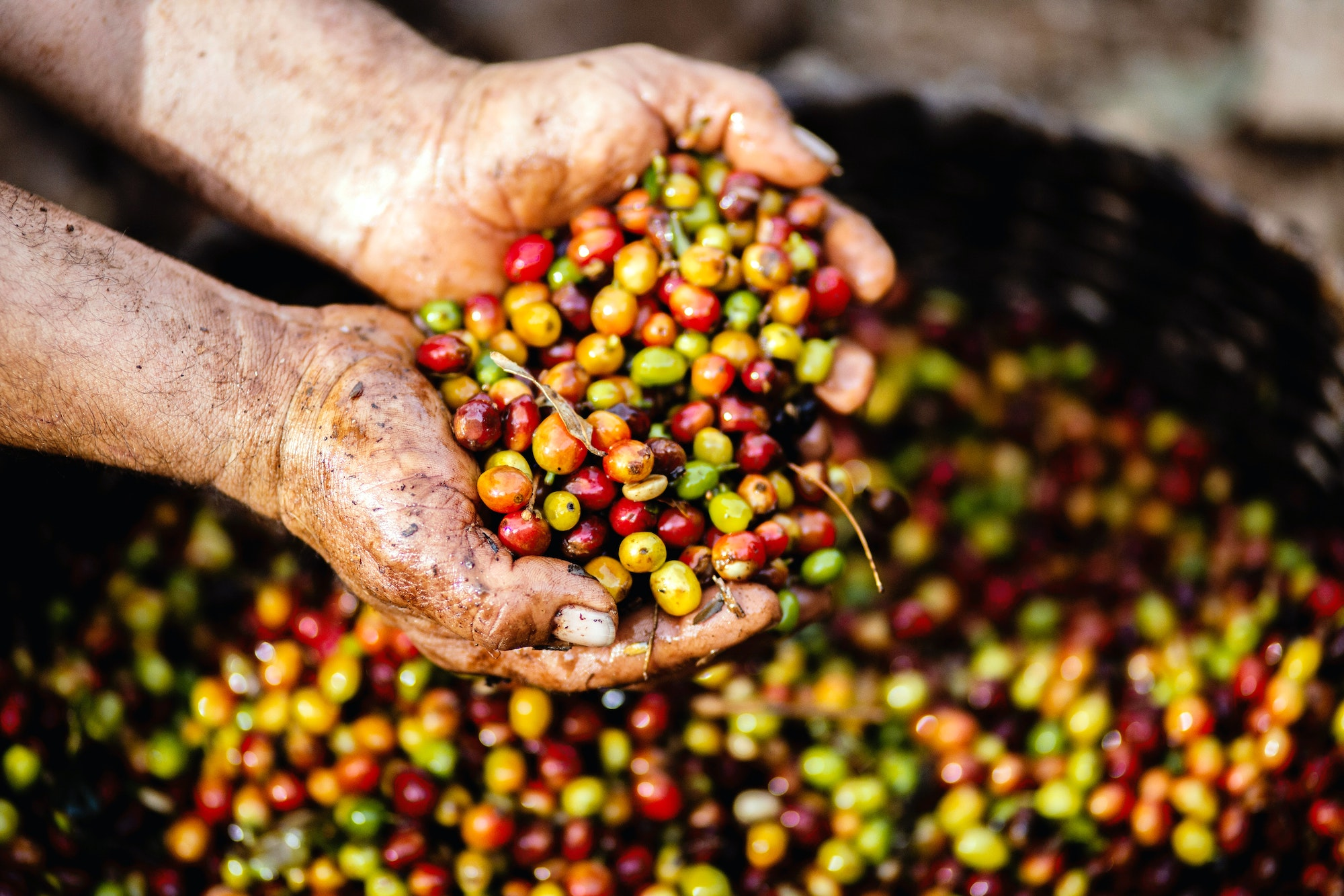 From planting trees and harvesting cherries toroastingthem, coffee farming involves high-maintenance procedures in order to sustain it