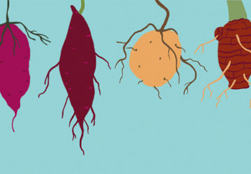 Root crops play an important role in food security and in the maintenance of the food supply chain