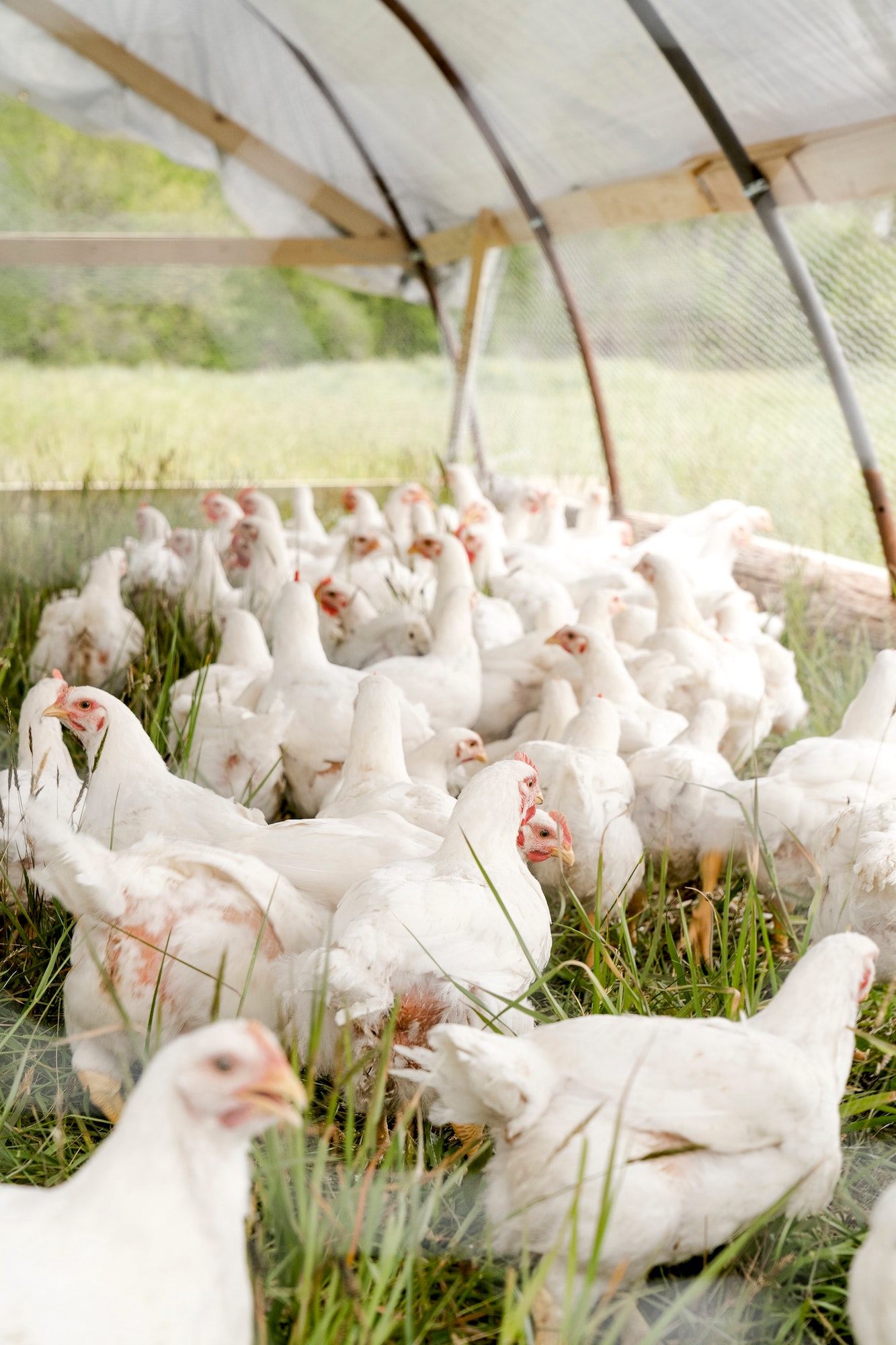 Chickens have also been impacted by the problems in meat industry and thus requires a closer look at how to sustainably operate poultry productions