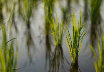 heat-resistant rice seed