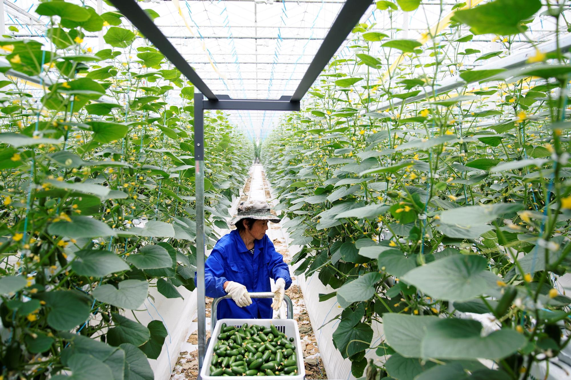 A farmer gathers cucumbers at Hengda greenhouse in Shanghai