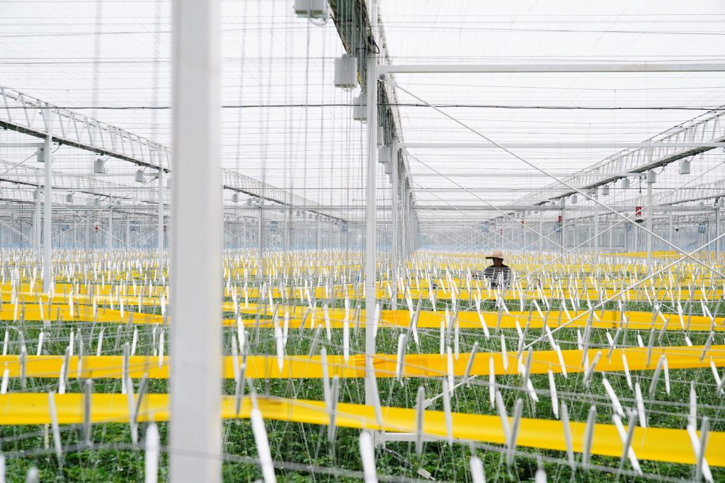 Plastic greenhouses help shield crops but are considered less efficient than glass greenhouses