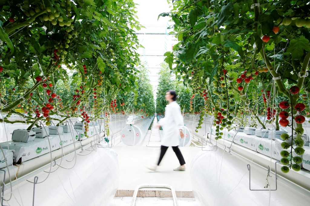 Greenhouse-grown produce is usually sold directly to e-commerce platforms and supermarkets, bypassing the many middlemen and wholesale markets that are a traditional feature of China's vegetable supply chain