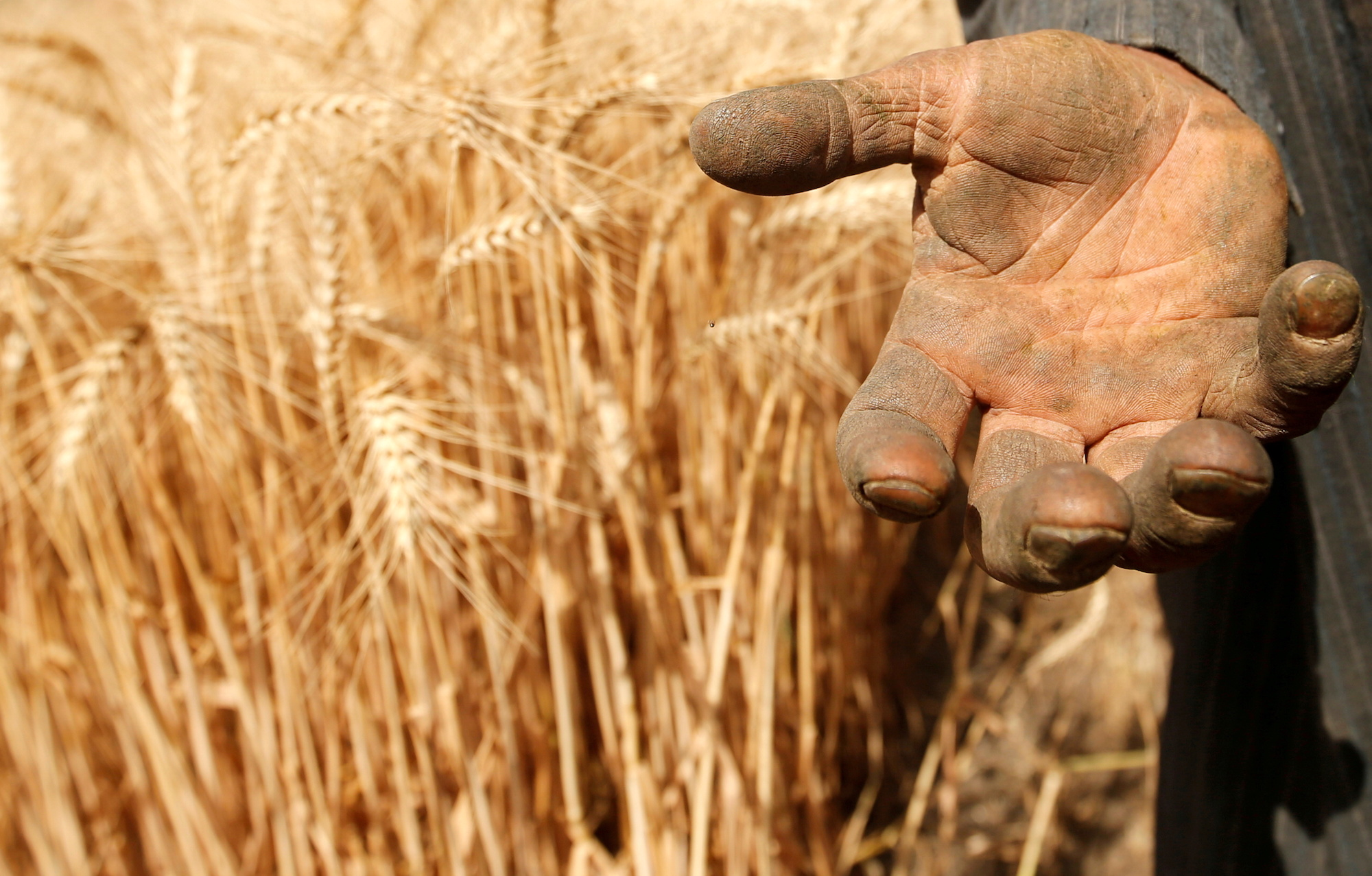 Food prices file photo: A farmer shows his hand as he harvests wheat on Qalyub farm in the El-Kalubia governorate, northeast of Cairo, Egypt