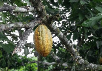 Called Elix, the cacao drink launches first in Europe where the EU's food safety agency has backed claims that a substance in the fruit called flavanols is beneficial to blood circulation